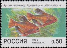 Красная тетра-минор